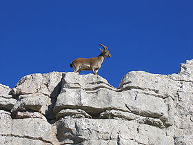 Ibex in karst lanscape Natural Park el Torcal de Antequera Andalusia