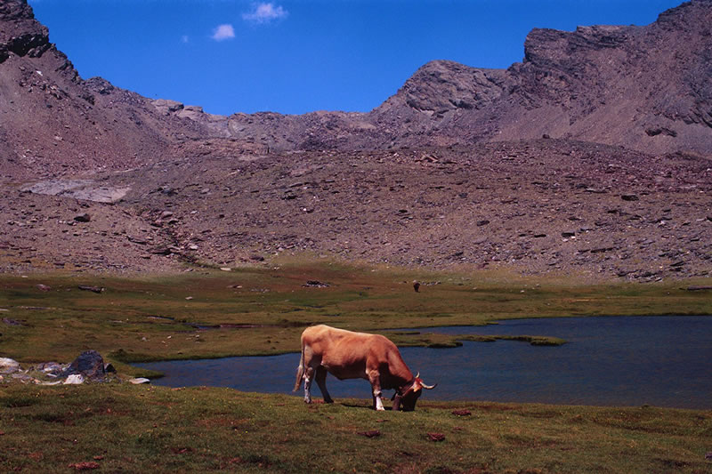 cow pasting in seven lagoons national park sierra nevada