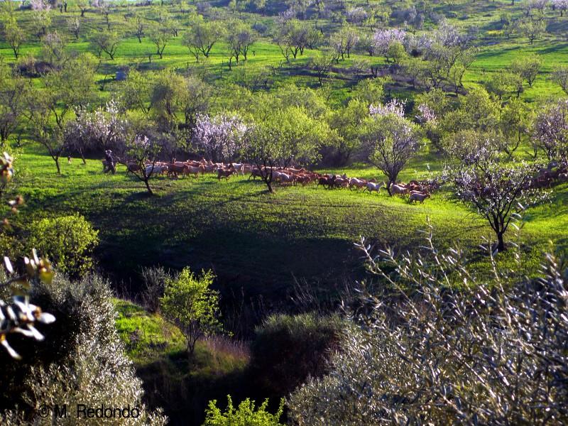 chèvres dans paysage de printemps malaga pres du parc naturel el torcal