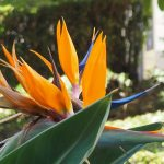 strelitzia flower andalusia spain