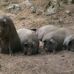 black iberian pigs near grazalema, andalusia, spain