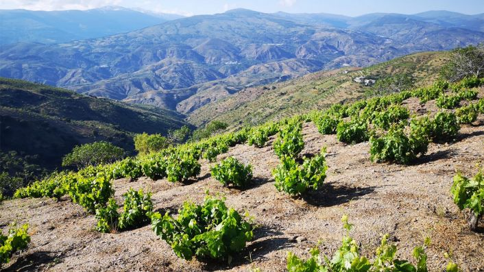 viñedo garcias de verdevique alpujarra
