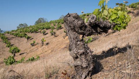 viñas azoradas por el viento vines garcias de verdevique